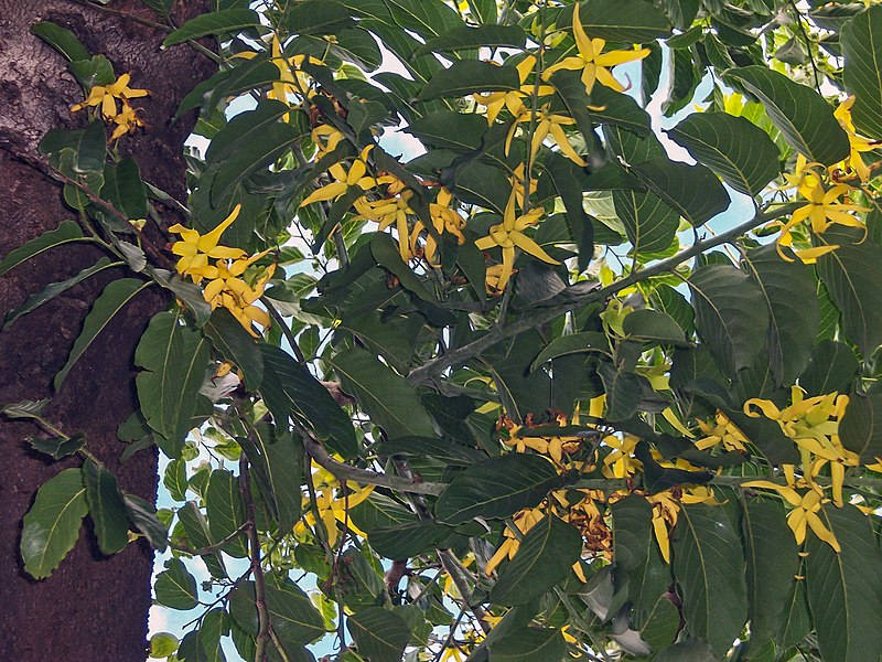 Ylang-ylang flowers (Photo by Bruno Navez)