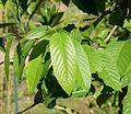Cananga odorata in Jardin des Plantes de Toulouse 02.jpg
