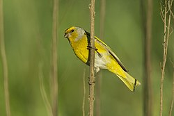 Cape Canary - Natal - South Africa S4E6774 (23051152101).jpg