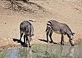 Cape Mountain Zebras (Equus zebra zebra) drinking ... (32417186892).jpg