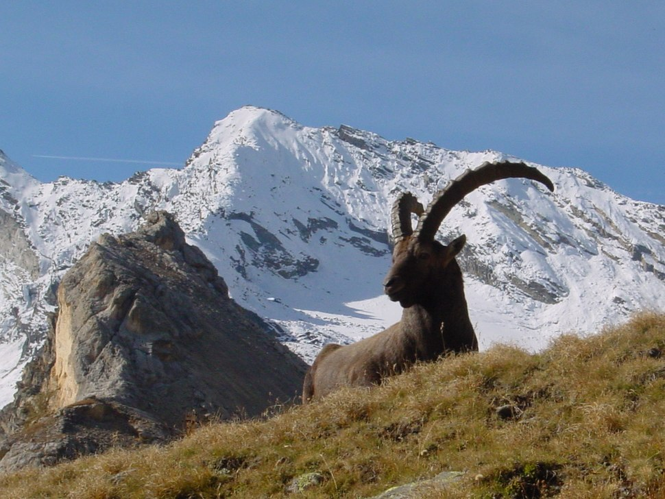Capra ibex gran paradiso.jpg