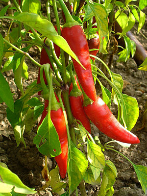 English: Capsicum annuum 'de Cayenne', Solanac...