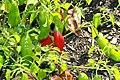 Capsicum baccatum Aji Colorado 2zz.jpg