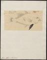 Caranx atropus - 1700-1880 - Print - Iconographia Zoologica - Special Collections University of Amsterdam - UBA01 IZ13500393.tif