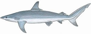Carcharhinus obscur.JPG