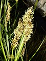 Carex paniculata inflorescens (23).jpg