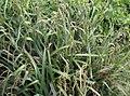 Carex pendula plant (23).jpg
