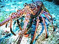 Caribbean spiny lobster.jpg