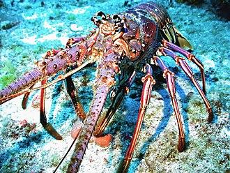 Lobster War - Caribbean spiny lobster