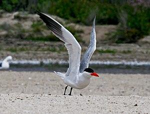 Caspian tern - Image: Caspian Tern takeoff RWD