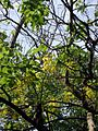 Cassia fistula (2).jpg