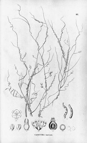 Cassytha filiformis - Image: Cassytha filiformis 1