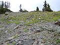 Castilleja sulphurea (8215546508).jpg