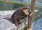 Castor canadensis - Wilhelma Zoo - Stuttgart, Germany - DSC02120.jpg