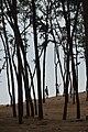 Casuarina Plantation - New Digha Coast - East Midnapore 2015-05-02 8904.JPG