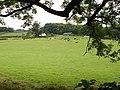 Cattle at Caer'hedyn - geograph.org.uk - 554215.jpg
