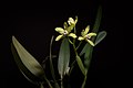 Cattleya xanthina (Espírito Santo, Brasil) (Lindl.) Van den Berg, Neodiversity 3- 12 (2008) (35926297525).jpg