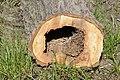 Cavités dans des bûches de peuplier blanc (12).JPG