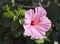 Cayena (Hibiscus rosa-sinensis), Conservatorio botánico, Fort Wayne, Indiana, Estados Unidos, 2012-11-12, DD 01.jpg
