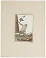 Cebus capucinus - 1798-1803 - Print - Iconographia Zoologica - Special Collections University of Amsterdam - UBA01 IZ20200162.tif