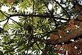 Cecropia obtusifolia 7zz.jpg