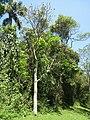 Cedrela fissilis - Jardim Botânico de São Paulo - IMG 0169.jpg