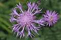 Centaurea bella fleur-Clapiers-7671~2020 04 18.jpg
