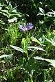 Centaurea montana PID815-1.jpg