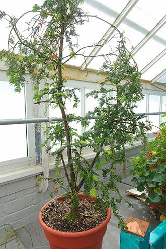 Cephalotaxus oliveri - Image: Cephalotaxus oliveri Lyman Plant House, Smith College DSC01924