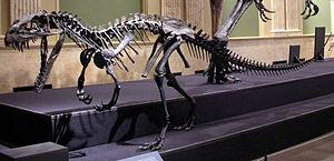 Averostra - Skeleton of a juvenile Ceratosaurus, Dinosaur Discovery Museum