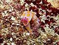 Ceratosoma amoenum - Poor Knights Islands 02.jpg