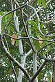 Cerbera odollum - IMG 1465.jpg