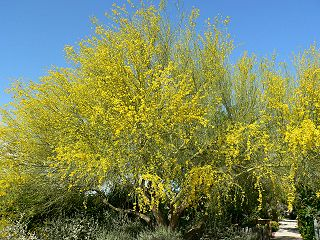 <i>Parkinsonia florida</i> Species of tree native to the Sonoran Desert