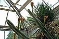 Cereus hexagonus 1.jpg
