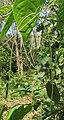 Ceropegia elegans fruits at Peravoor (10).jpg