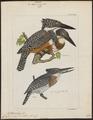 Ceryle maxima - 1820-1863 - Print - Iconographia Zoologica - Special Collections University of Amsterdam - UBA01 IZ16800253.tif