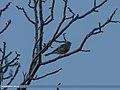 Chaffinch (Fringilla coelebs) (24825522244).jpg