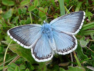 Chalkhill blue species of insect