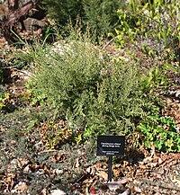 Chamelaucium ciliatum