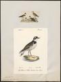Charadrius fluviatilis - 1700-1880 - Print - Iconographia Zoologica - Special Collections University of Amsterdam - UBA01 IZ17200225.tif