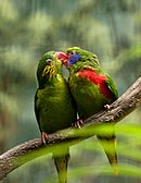 Two green parrots with red beaks, one male with red sides and blue cheeks, and one female with yellow flecked cheeks