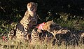 Cheetah, Acinonyx jubatus, at Pilanesberg National Park, Northwest Province, South Africa. (27513036421).jpg