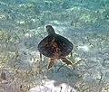 Chelonia mydas (green sea turtle) (San Salvador Island, Bahamas) 9 (15998070427).jpg