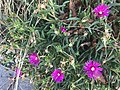 Chemin du Milieu (Beynost) - des fleurs de delospermas.JPG