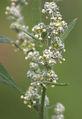 Chenopodium album flowers, Melganzenvoet bloemen.jpg