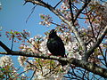 Cherry Blossom DC 2014 (14097794962).jpg
