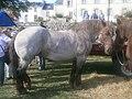 Cheval breton aubère de profil.jpg