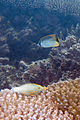 Chevron butterflyfish Chaetodon trifascialis (top) and longnose filefish Oxymonacanthus longirostris (bottom) (5822469202).jpg