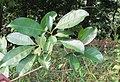Chionanthus ramiflorus 37.jpg