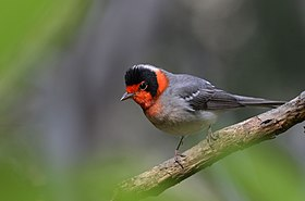 Chipe Cara Roja, Red Faced Warbler, Cardellina rubrifrons (16854176538).jpg